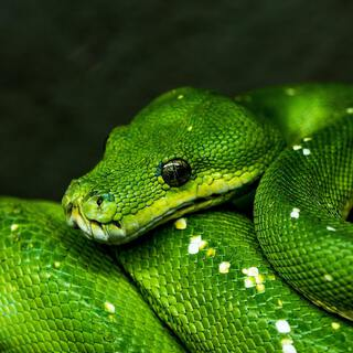 green python two