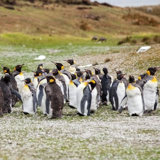 penguin herd