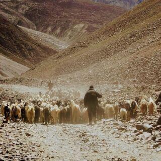 herding cattle